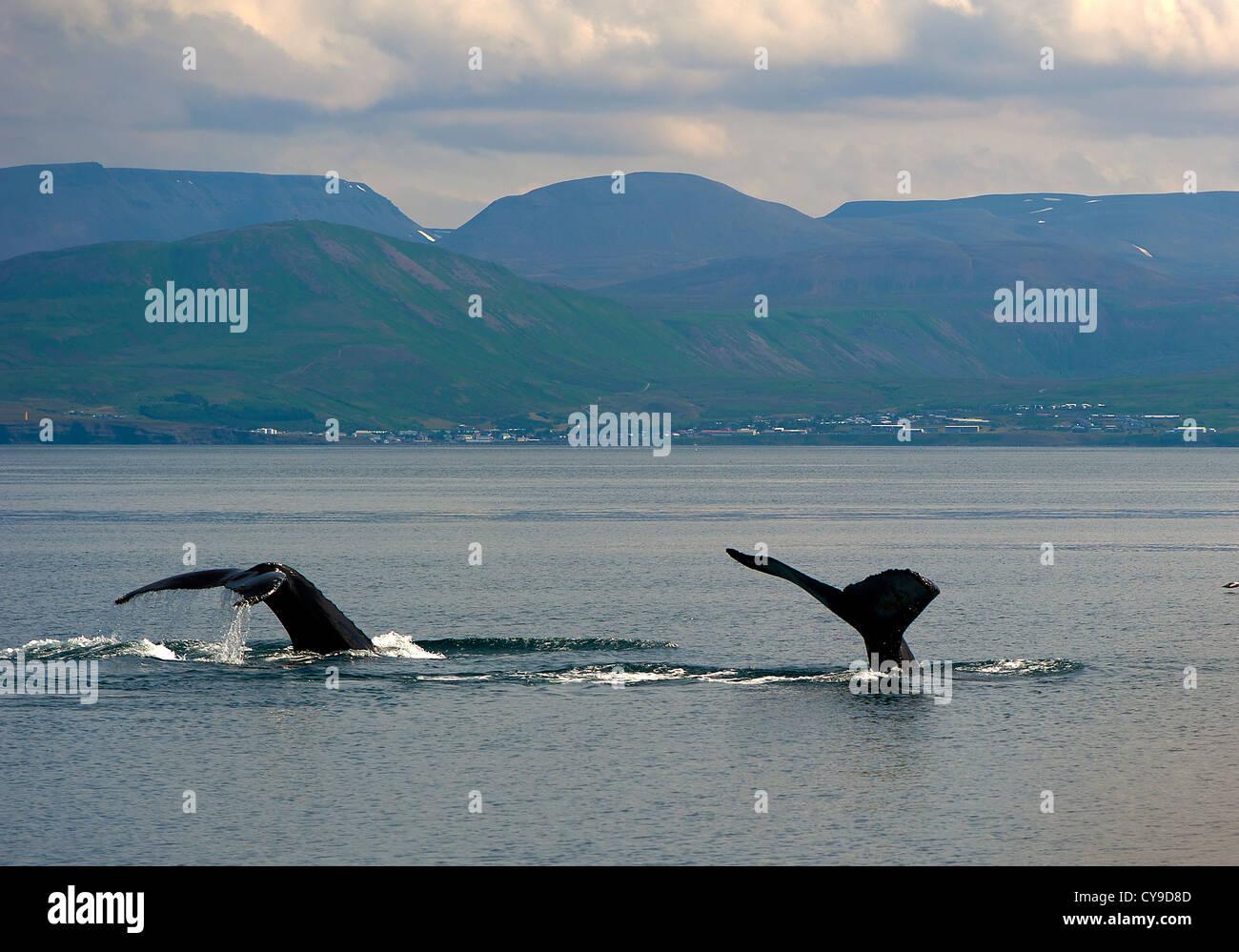 Couple of Whale's tails, Husavik Iceland - Stock Image