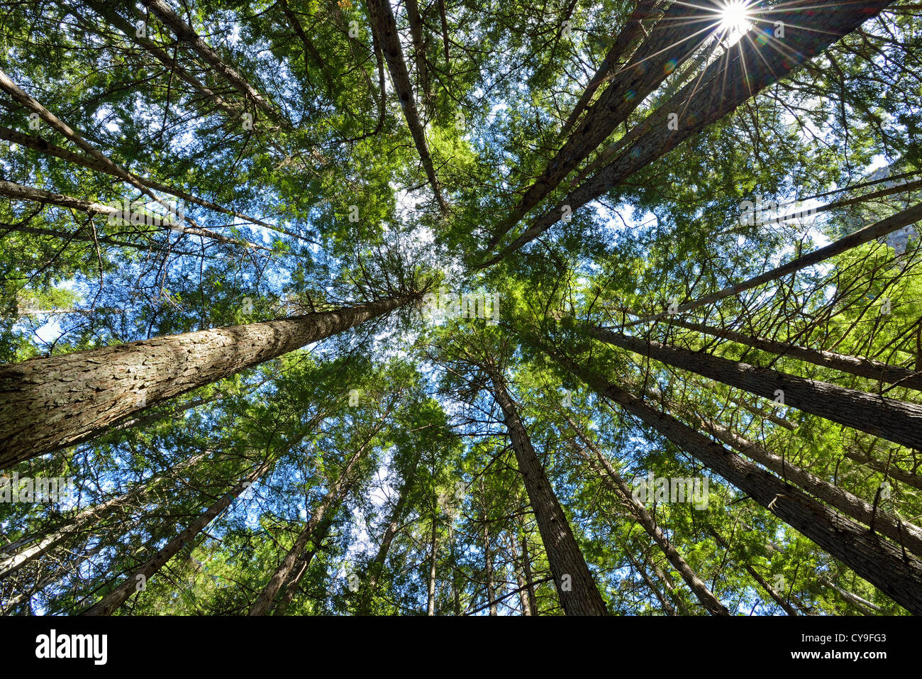 Looking up at the canopy through the tall trees with green leaves and blue sky. - Stock Image