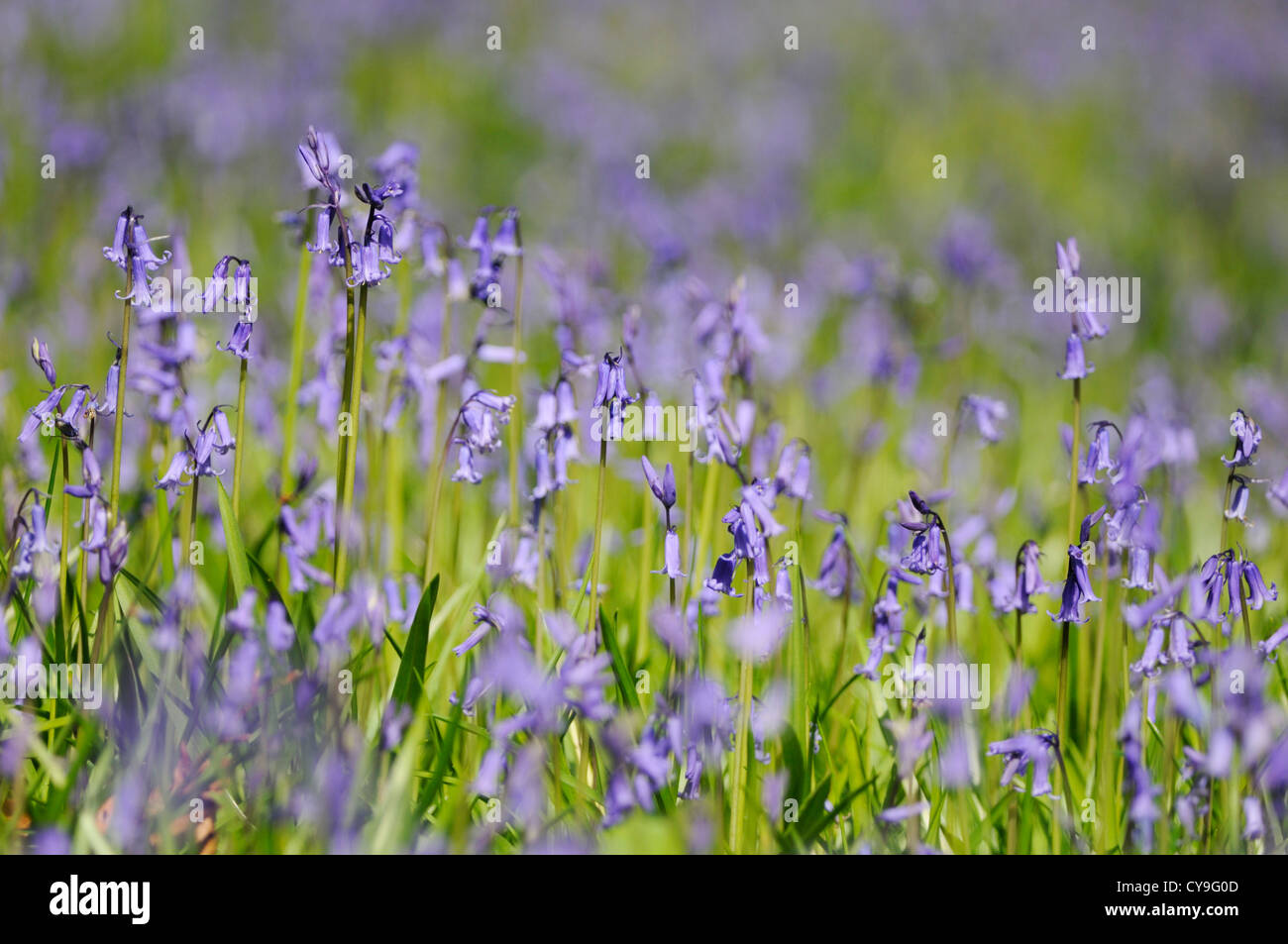 Hyacinthoides non-scripta, English bluebell. Low level shot with shallow focus of upright bluebells growing in a - Stock Image