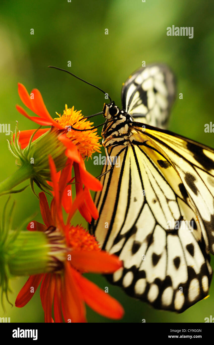 Idea leuconoe, Paper Kite or Large tree nymph butterfly on an orange coloured flower seen from the side. Stock Photo