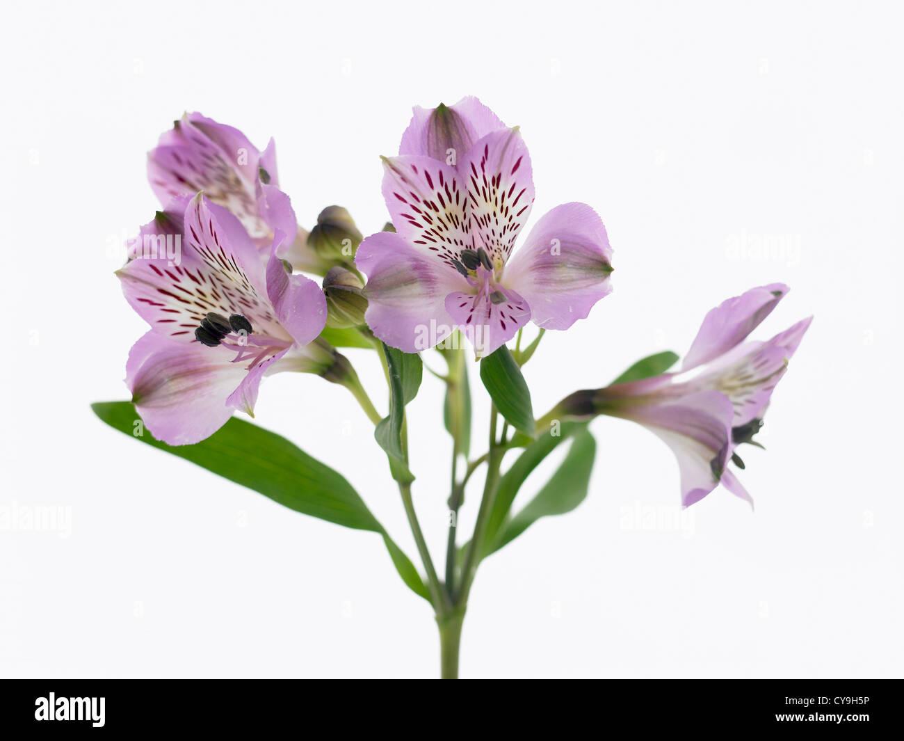 White flowers on single stem against a white background cutout stock alstroemeria cultivar peruvian lily purple flowers on a single stem against a white background mightylinksfo