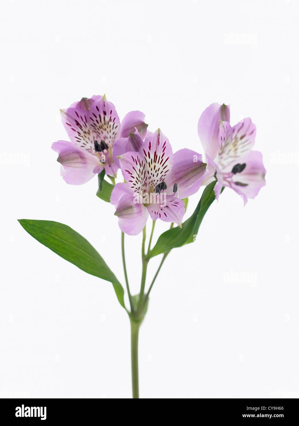 Alstroemeria cultivar, Peruvian lily. Purple flowers on a single stem against a white background. Stock Photo
