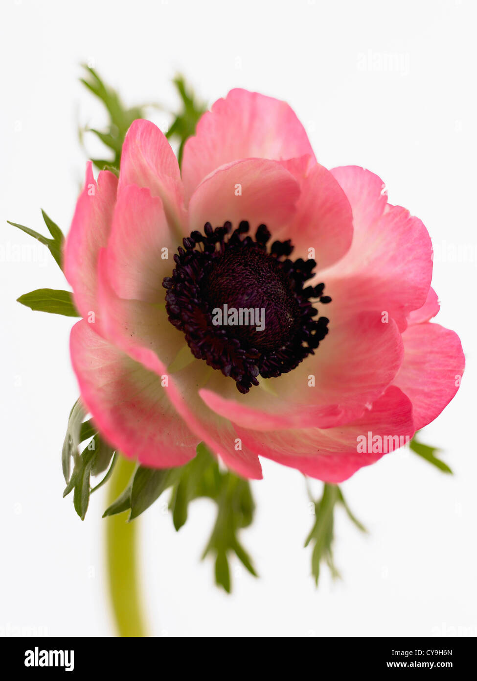 Spring wild flowers anemone coronaria stock photos spring wild anemone coronaria garden anemone single open pink flower on a stem against a white mightylinksfo