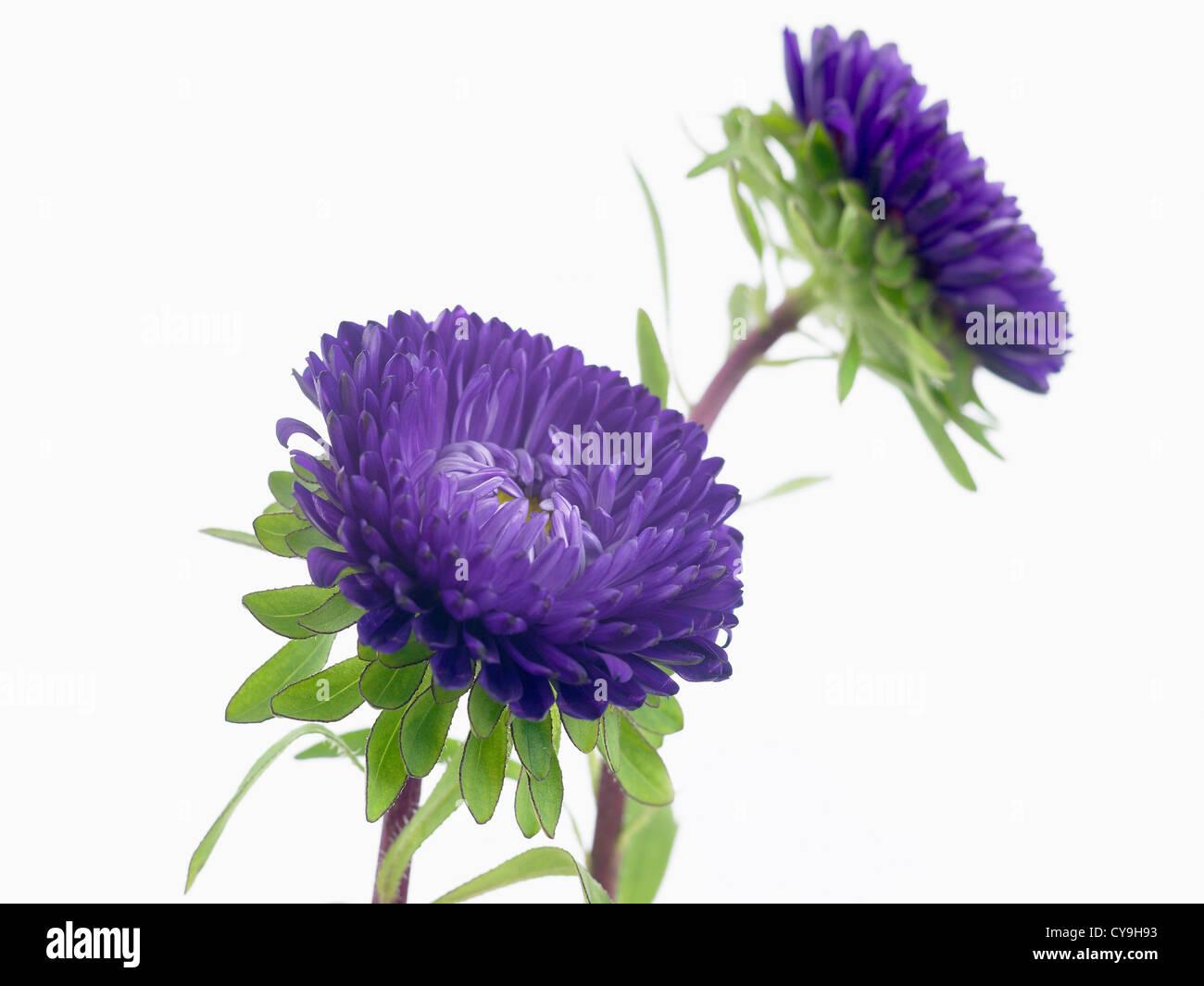 Callistephus chinensis matsumoto china aster purple flowers on callistephus chinensis matsumoto china aster purple flowers on stems against a white background mightylinksfo
