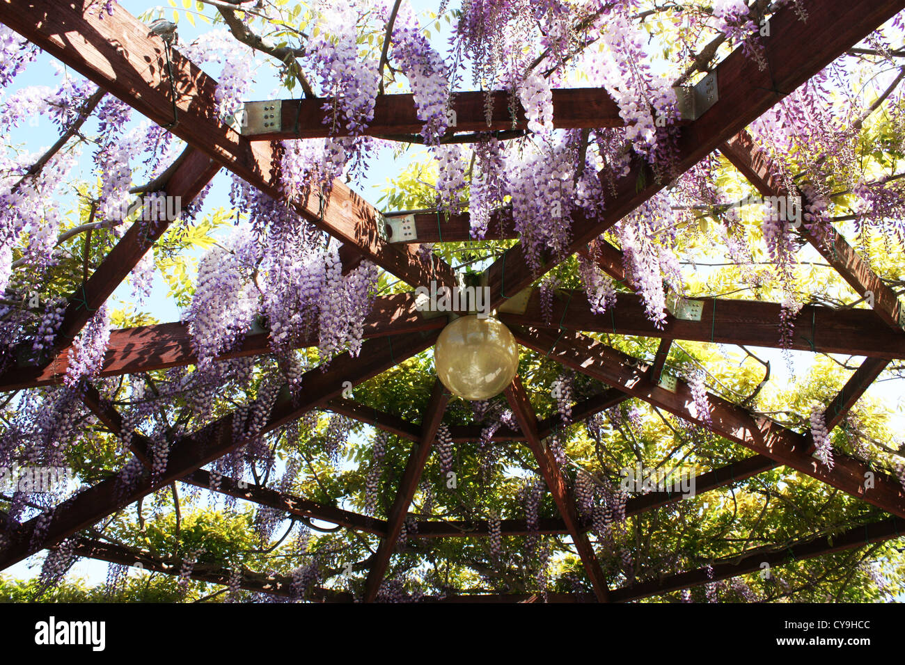 Violet wisteria flowers hanging on wooden structure in garden Stock Photo