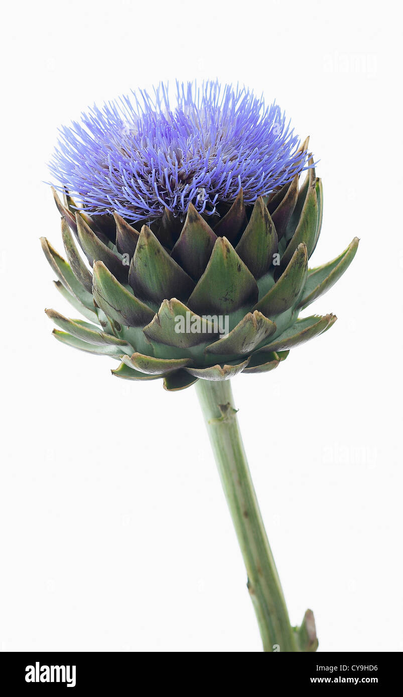 Cynara scolymus, Globe artichoke. Blue flower above the lobed green leaves of this perennial edible thistle. - Stock Image