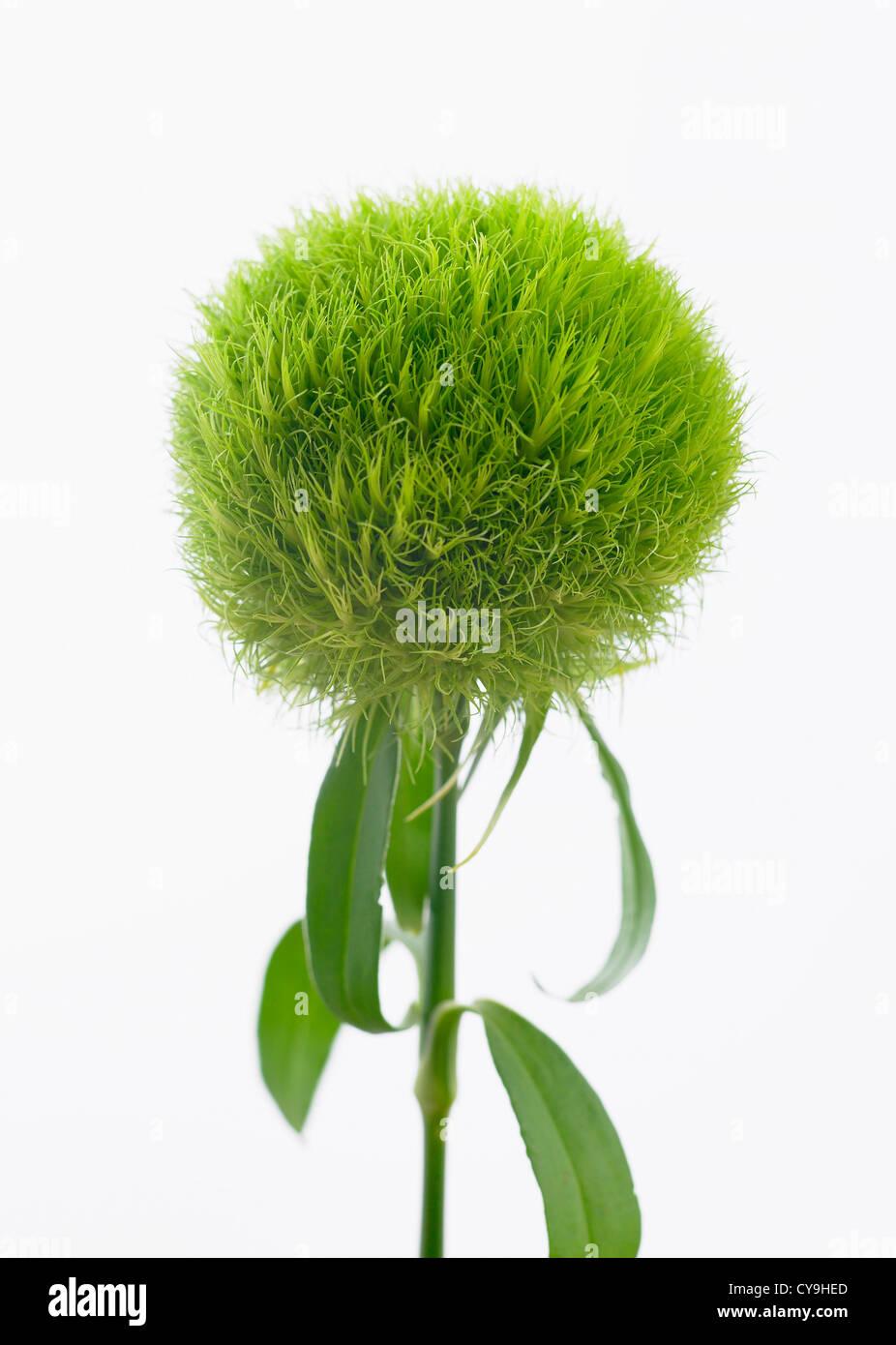 Dianthus barbatus 'Temarisou', Carnation, Green trick series. Unusual green flower that was Flower of The - Stock Image