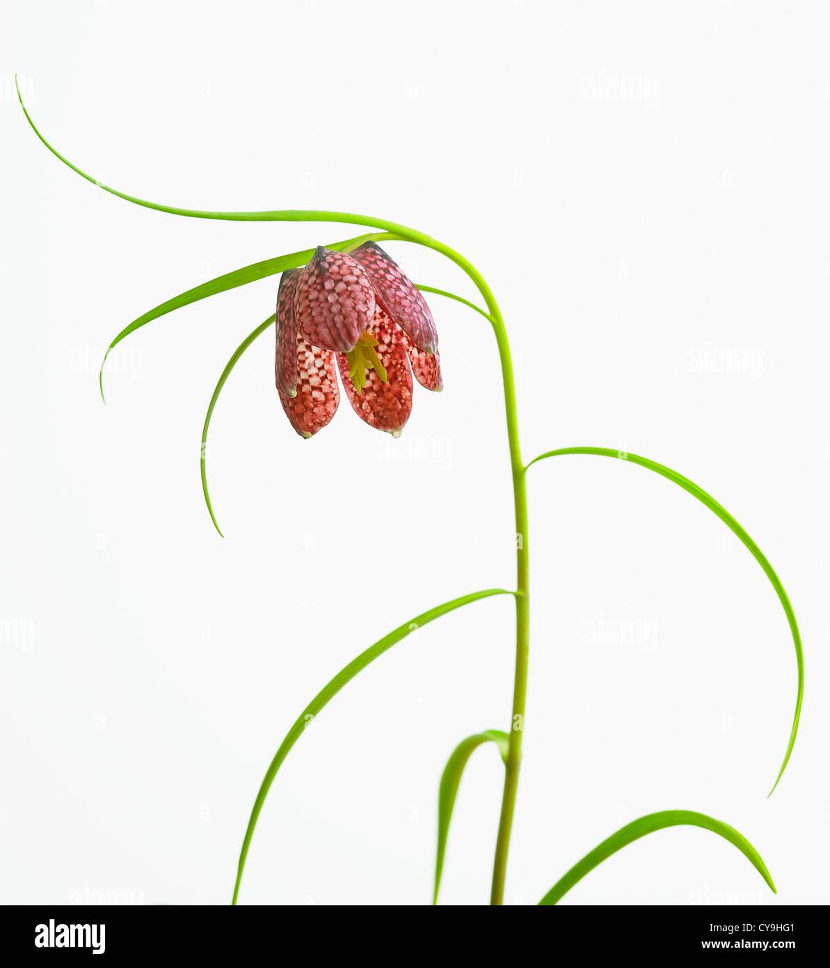 Fritillaria meleagris, Snake's head fritillary. Single red spotted flower on stem with thin leaves against white - Stock Image