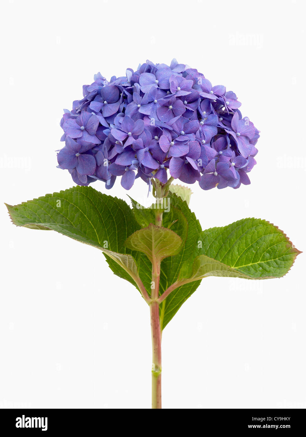 Single blue Lacecap hydrangea, Hydrangea macrophylla 'Diamond Blue', on a leafy stem against a white background - Stock Image