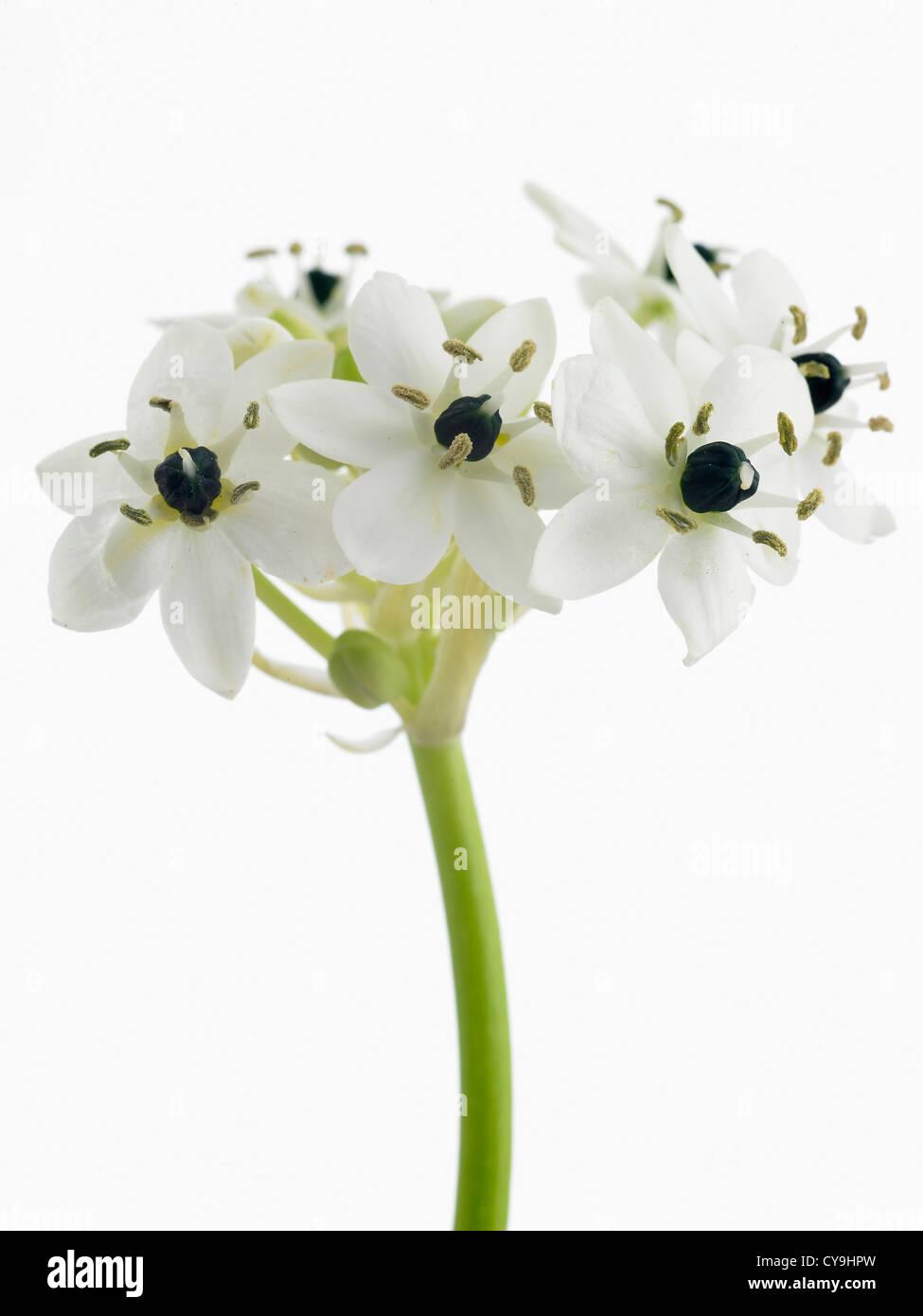 Ornithogalum arabicum star of bethlehem white flowers on single ornithogalum arabicum star of bethlehem white flowers on single stem against a white background mightylinksfo