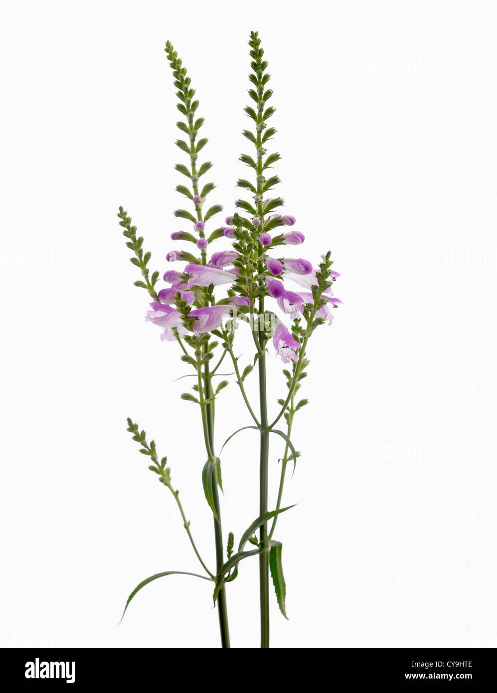 Physostegia virginiana, Obedient plant with purple flowers on upright stems against a white background. Stock Photo