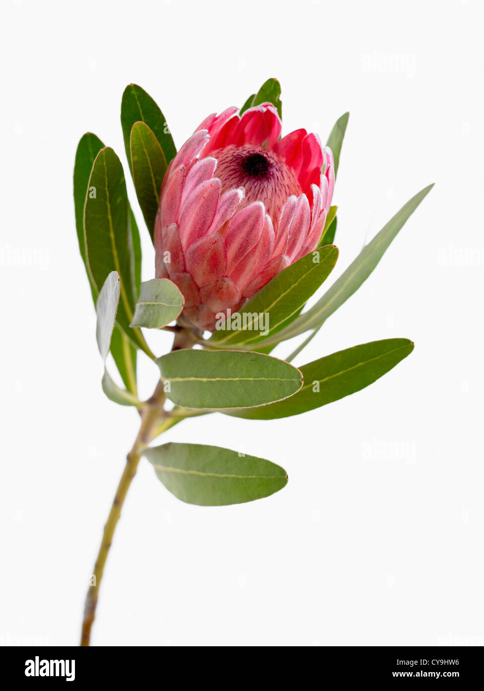 Protea Neriifolia X Susannae Pink Ice Single Flower On Leafy Stem Stock Photo Alamy