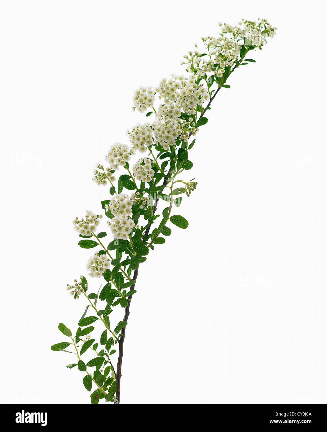 White Flowers On Single Stem Against A White Background Cutout Stock