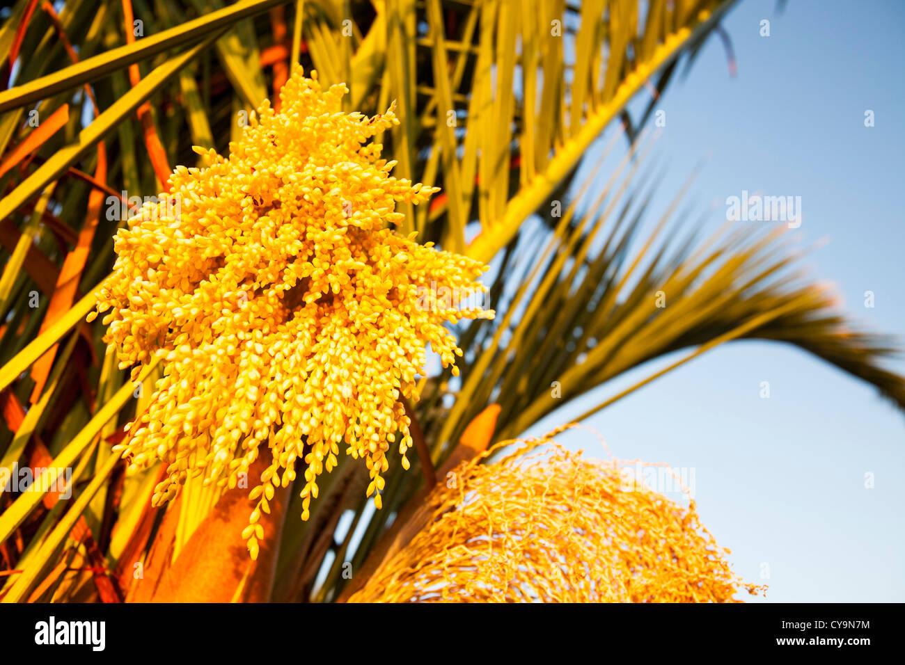 Palm tree flower yellow stock photos palm tree flower yellow stock a flowering palm tree on lemnos greece stock image mightylinksfo Gallery