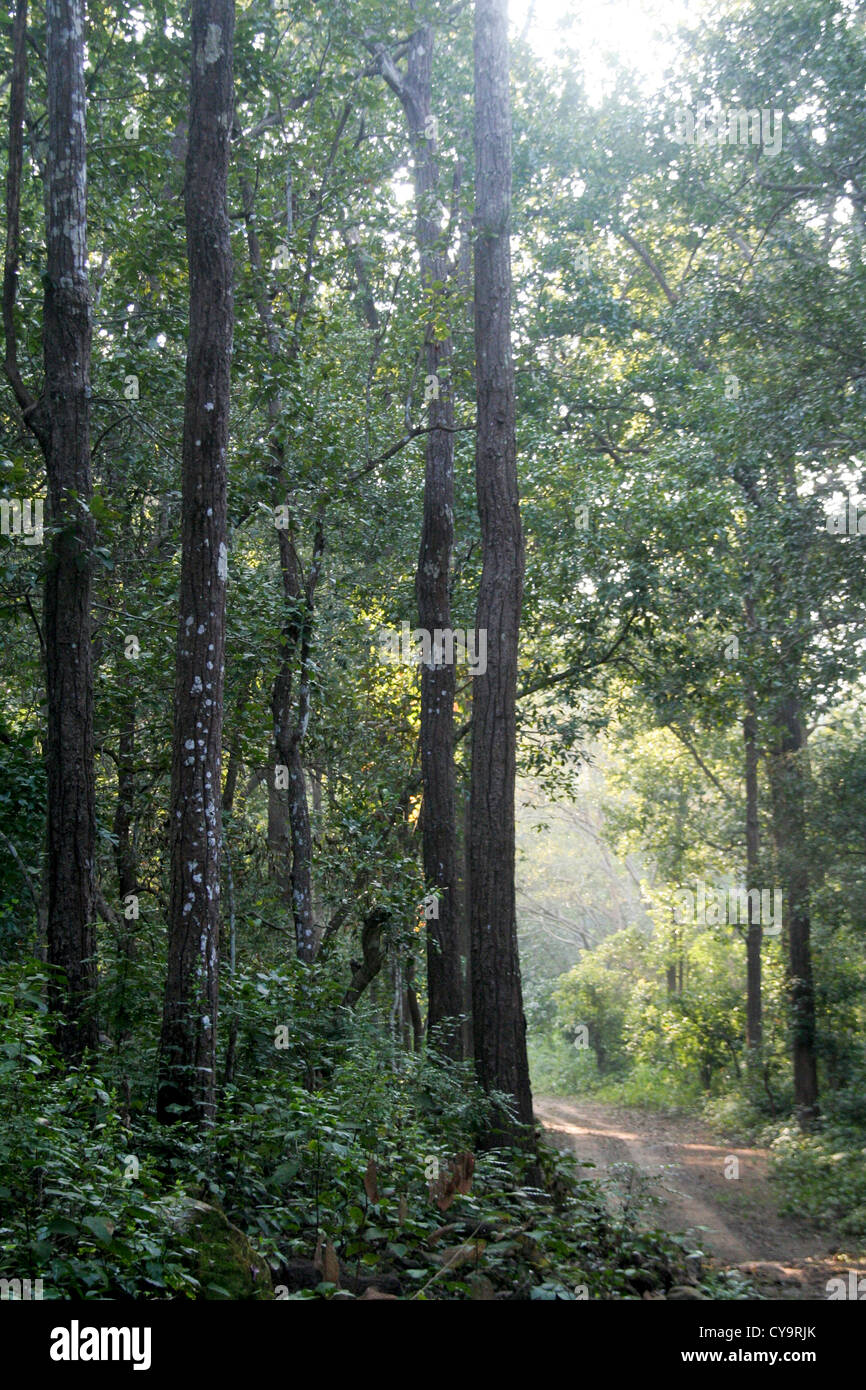 Vehicular path amid jungle with lofty trees - Stock Image