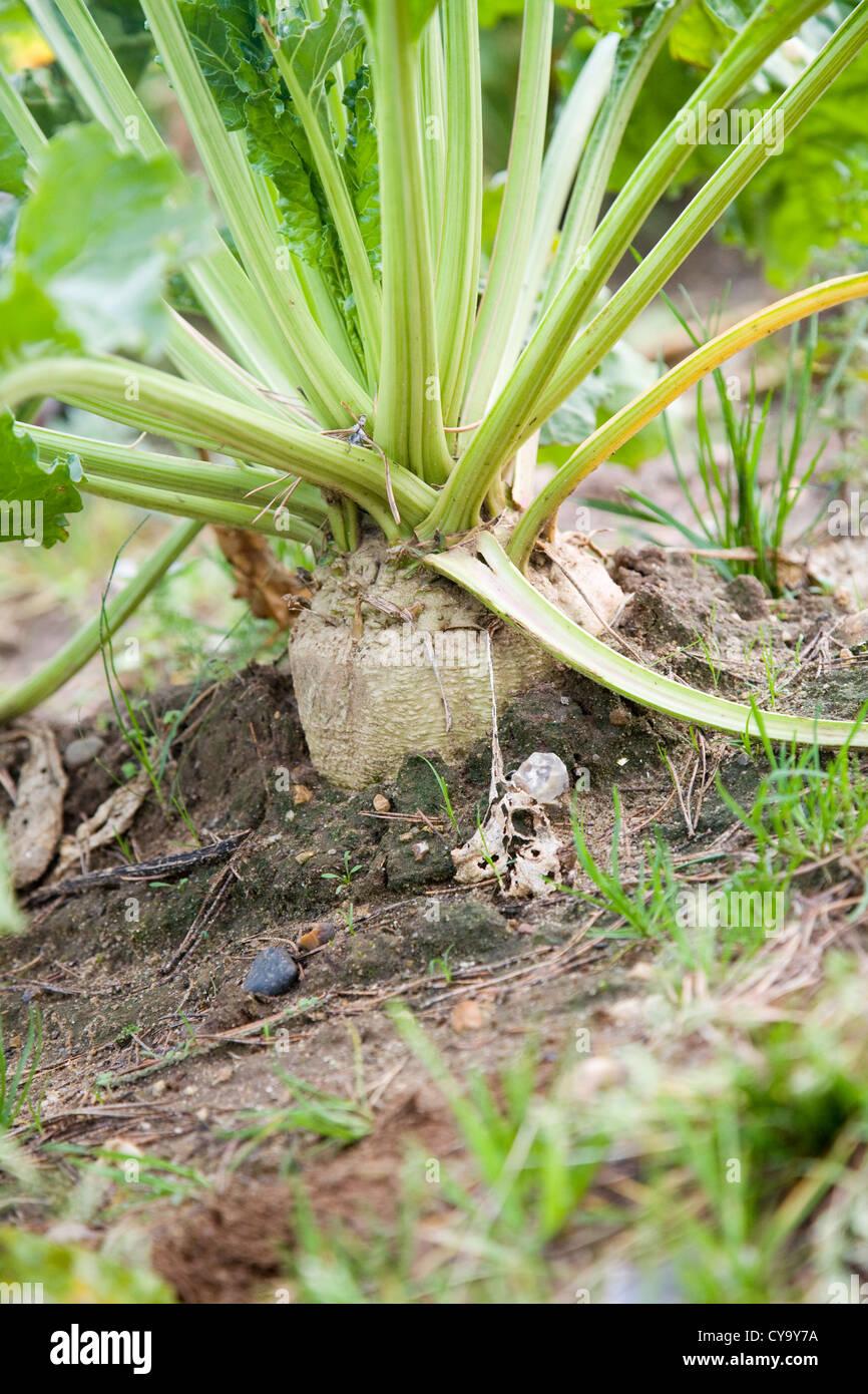 Beta vulgaris Sugar beet plant growing in field - Stock Image