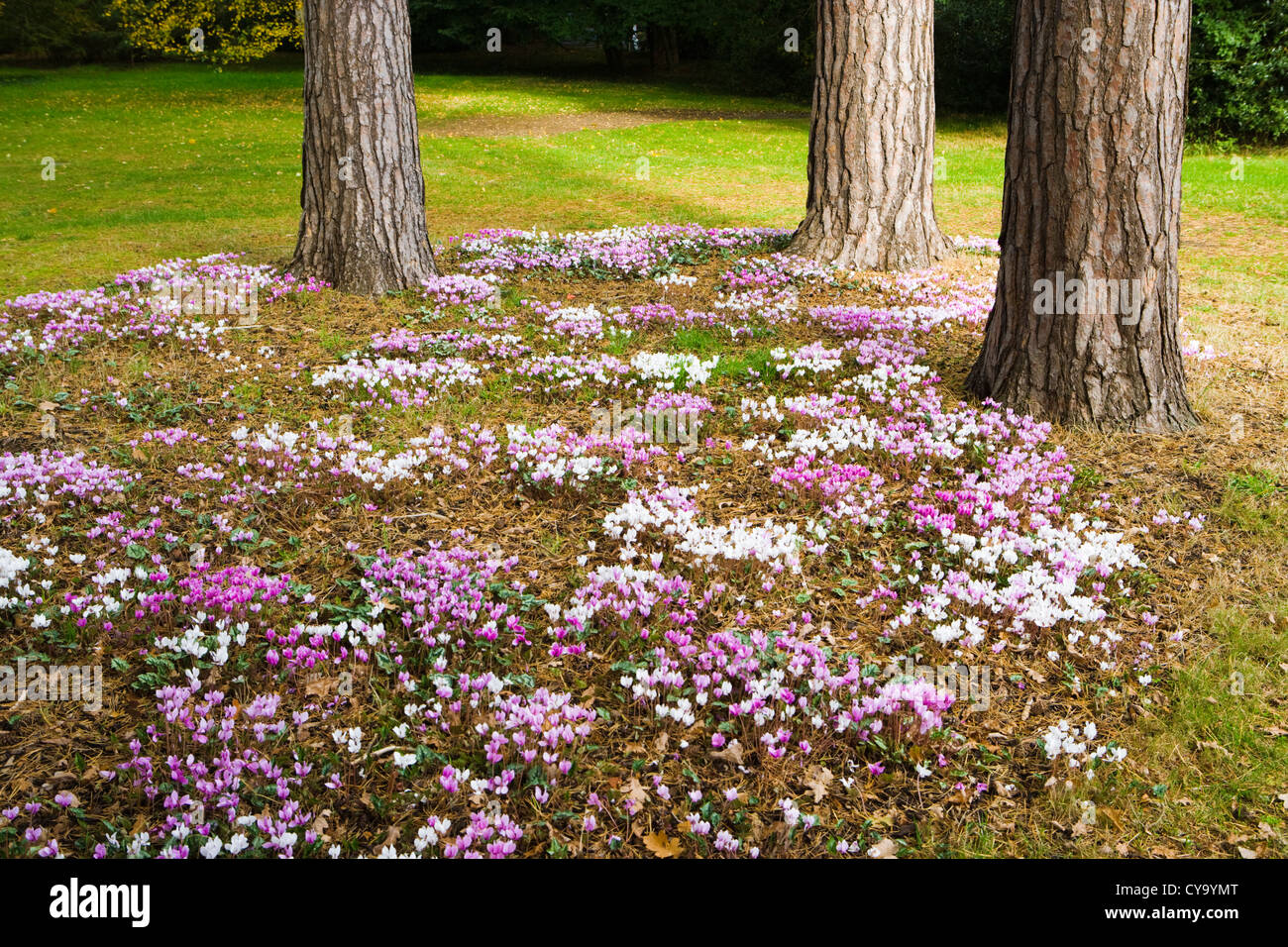 Cyclamen (autumn flowering) under pine trees. Wisley Garden, UK. - Stock Image