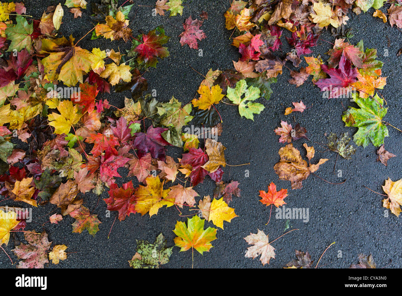 Wet Autumn leaves lying on a tarmac path in Birmingham, UK - Stock Image