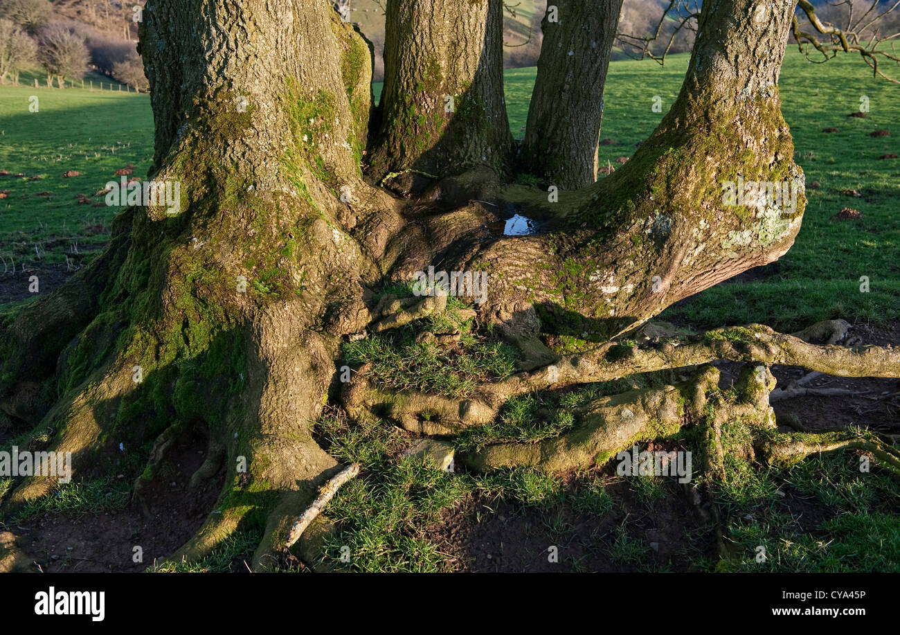 An ancient ash coppice stool, once part of a hedge, holds a small pool of water - Stock Image