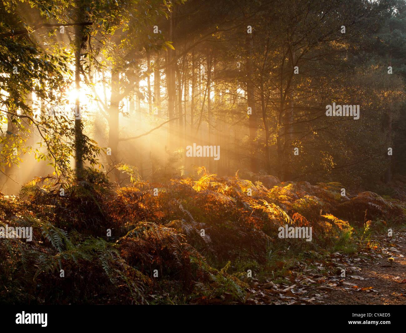 Sherwood Forest Sunrise - Stock Image