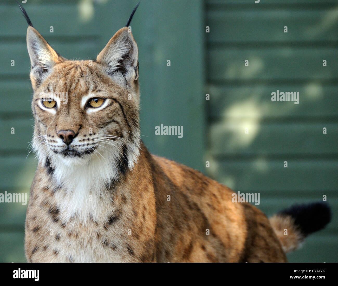 European Lynx (Felis lynx) in a cage. Captive animal. Wildlife Heritage Foundation, Smarden, Kent. - Stock Image