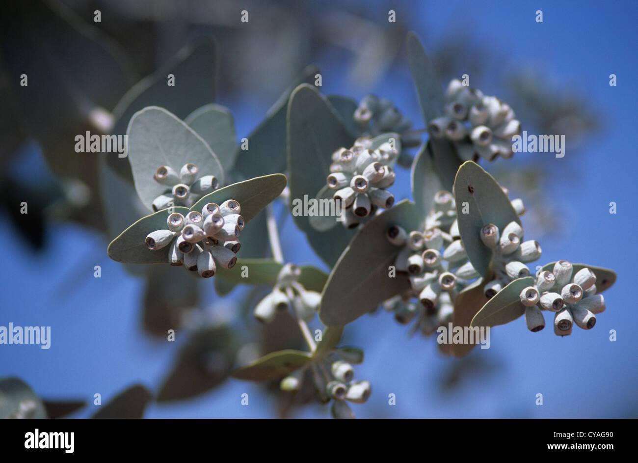 Australia native plantsflowers eucalyptus leaves and flower buds australia native plantsflowers eucalyptus leaves and flower buds species unidentified taken near alice springs mightylinksfo