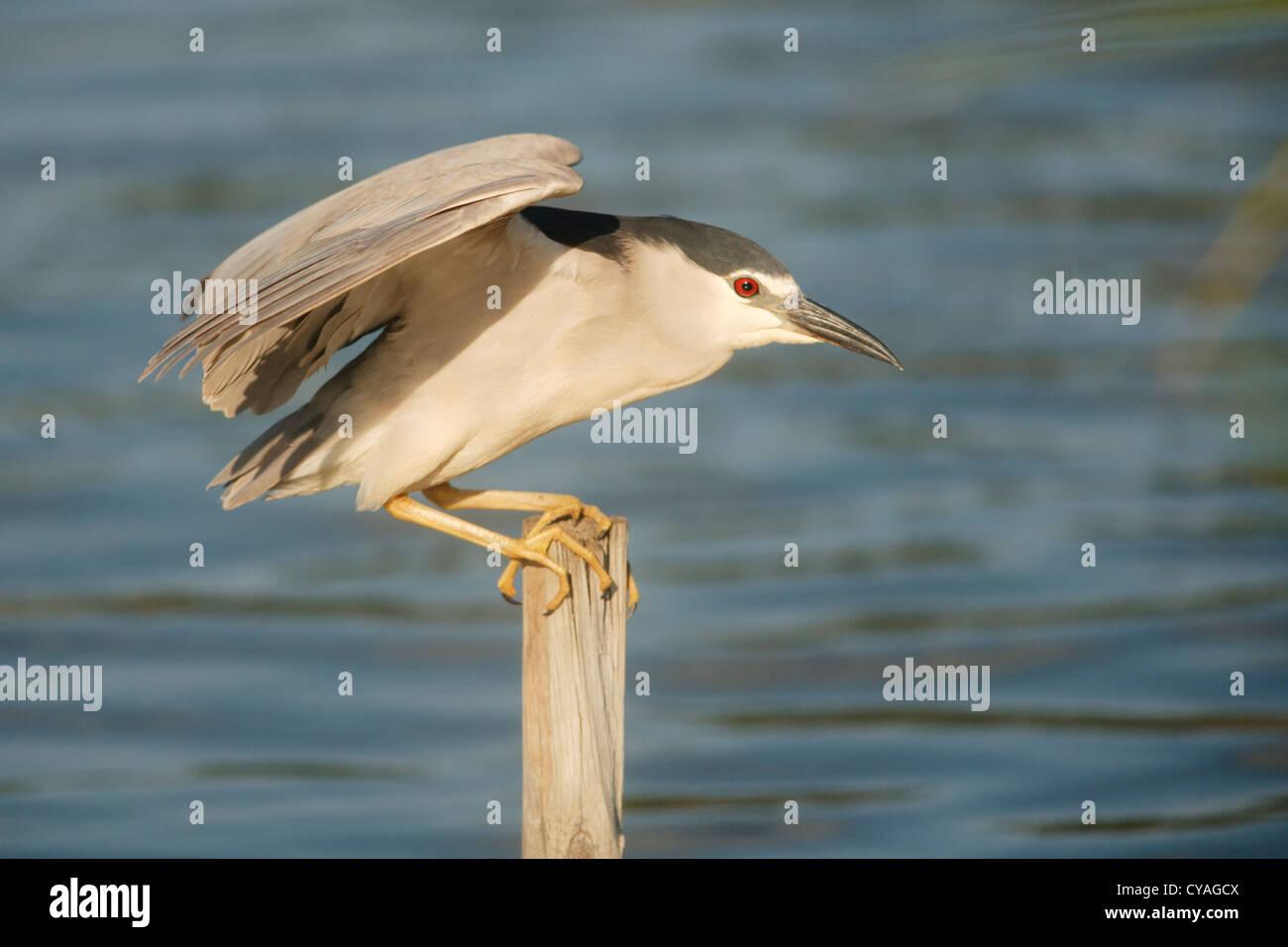 Black-crowned, Night-heron, Nycticorax nycticorax at Pont del Traves, Ebro Delta, Amposta,Catalonia Stock Photo