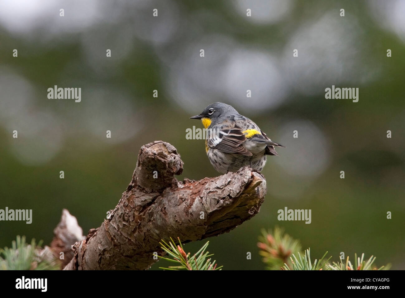 Yellow-rumped Warbler (Setophaga coronata) male Audubon's (auduboni) perched on log at Quadra Island, BC, Canada Stock Photo