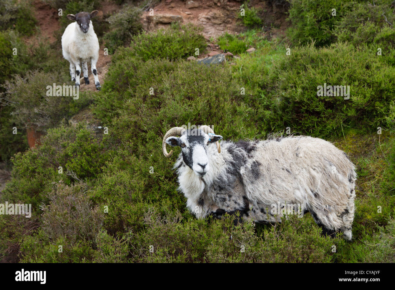 Swaledale sheep, ewe and lamb on Stanton Moor, Peak District National Park, England - Stock Image