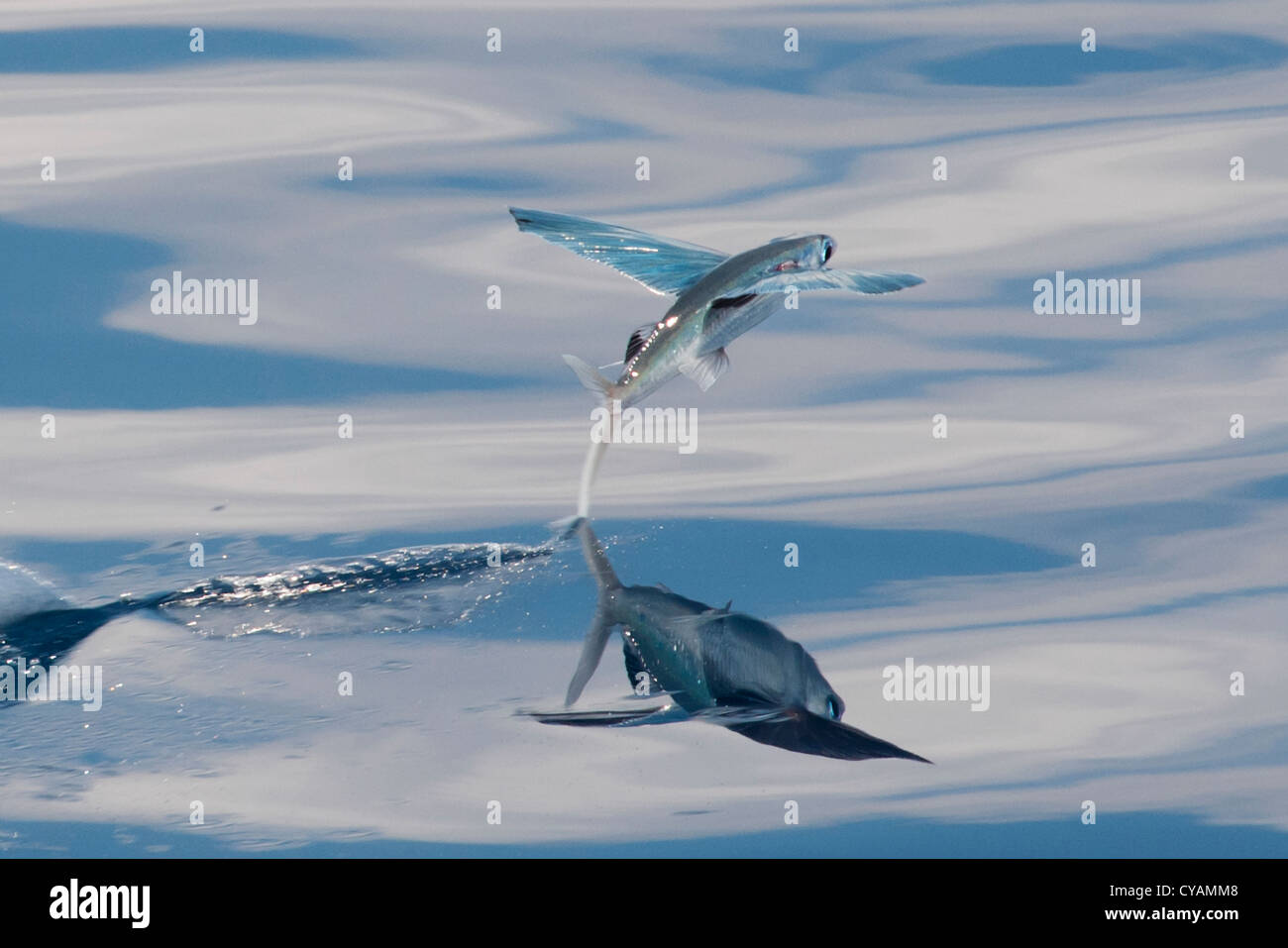 Flying Fish Species (scientific name unknown) with reflection visible, taking off and leaving a trail on the water. Stock Photo