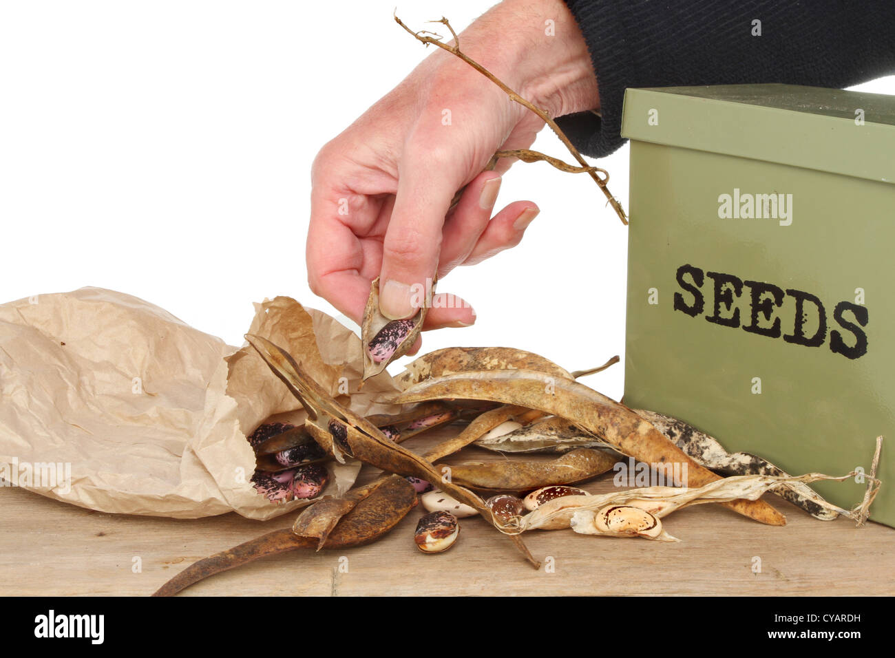 Closeup of a hand saving runner bean seed into a brown paper bag with a seed tin on a wooden bench - Stock Image
