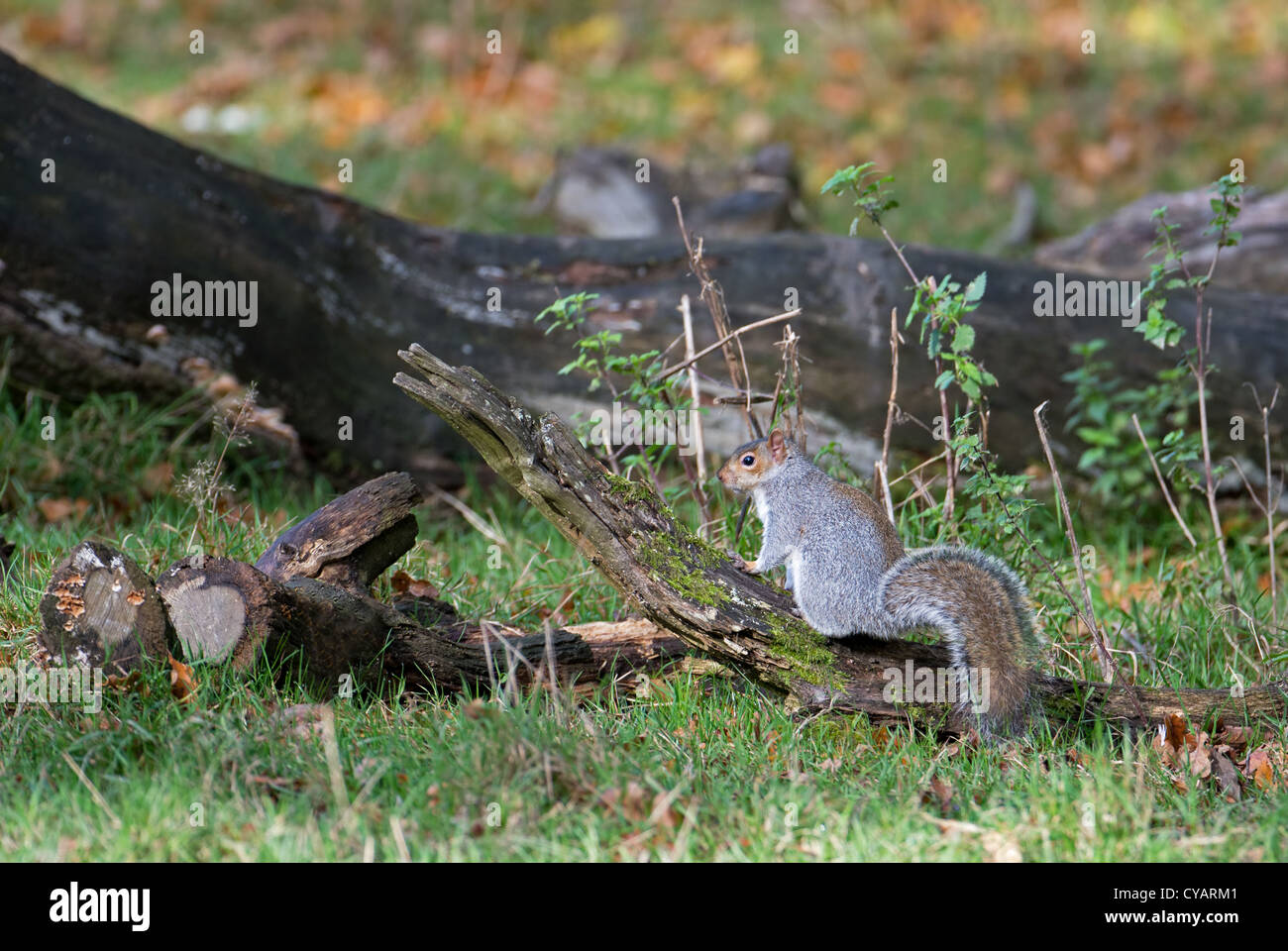 GREY SQUIRREL SCIURUS CAROLINENSIS PERCHED ON A LOG. UK - Stock Image