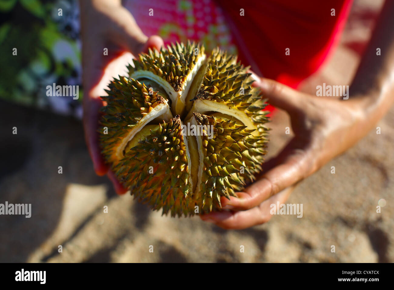 Durian nut fruit holding in hands, cracked open - Stock Image