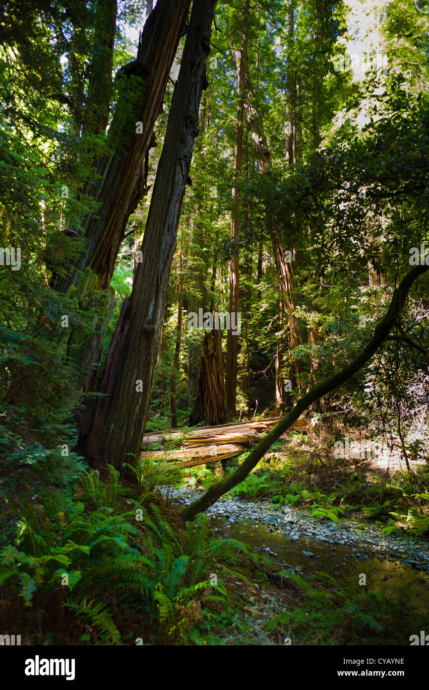 MUIR WOODS NATIONAL MONUMENT (1908) MILL VALLEY MARIN COUNTY CALIFORNIA - Stock Image