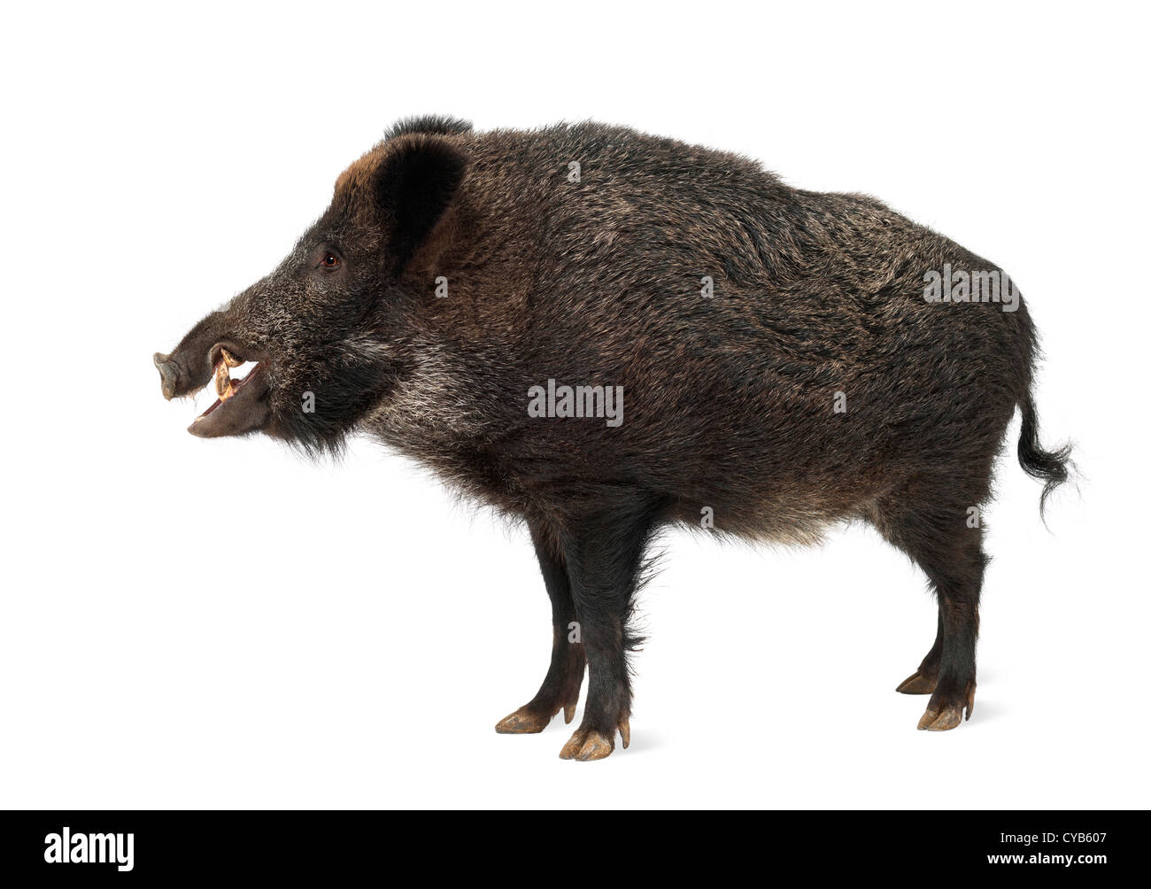 Wild boar, also wild pig, Sus scrofa, 15 years old, standing against white background - Stock Image