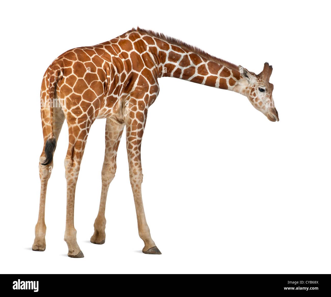 Somali Giraffe, known as Reticulated Giraffe, Giraffa camelopardalis reticulata, 2.5 years old, against white background Stock Photo
