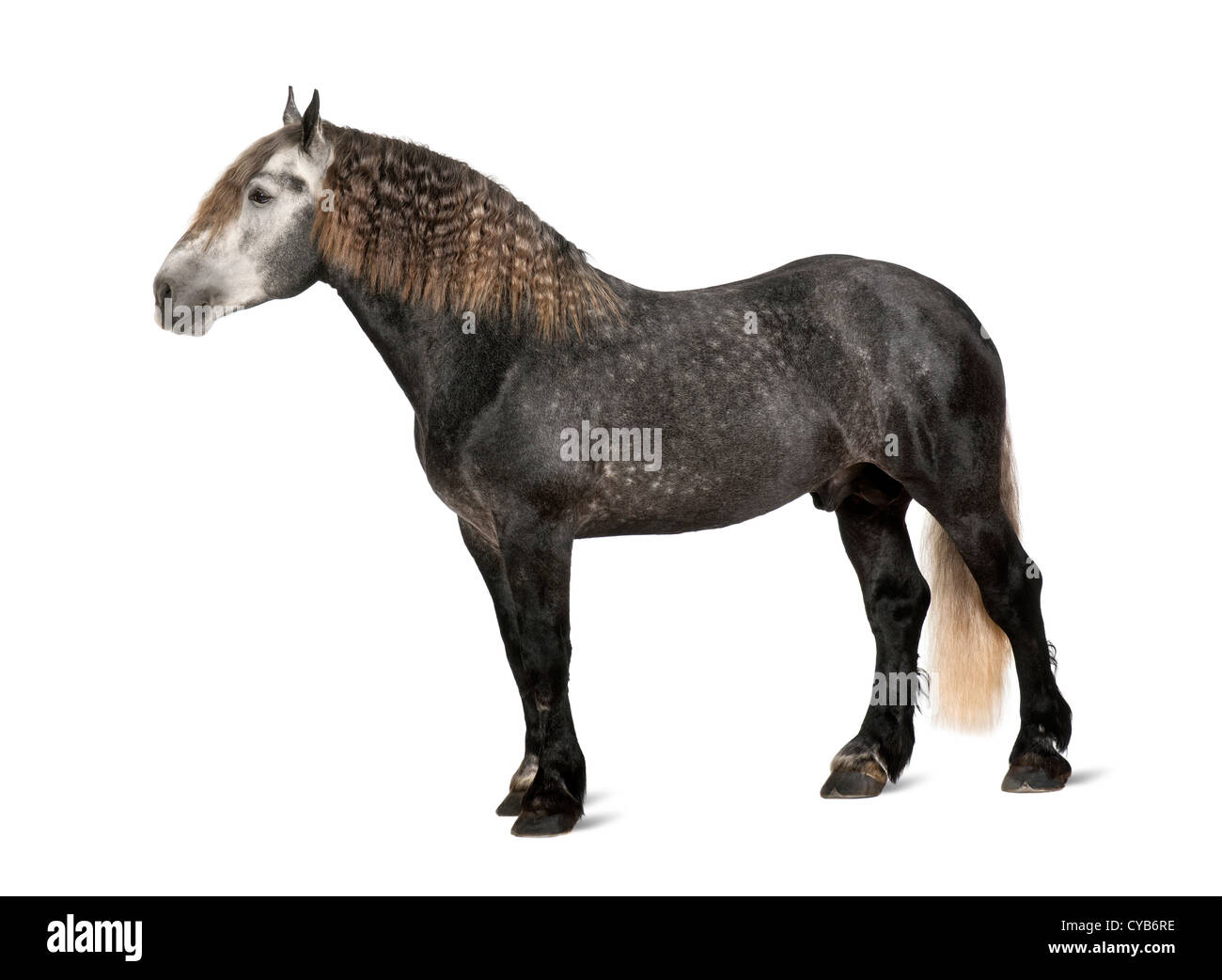 Percheron, 5 years old, a breed of draft horse, standing against white background - Stock Image