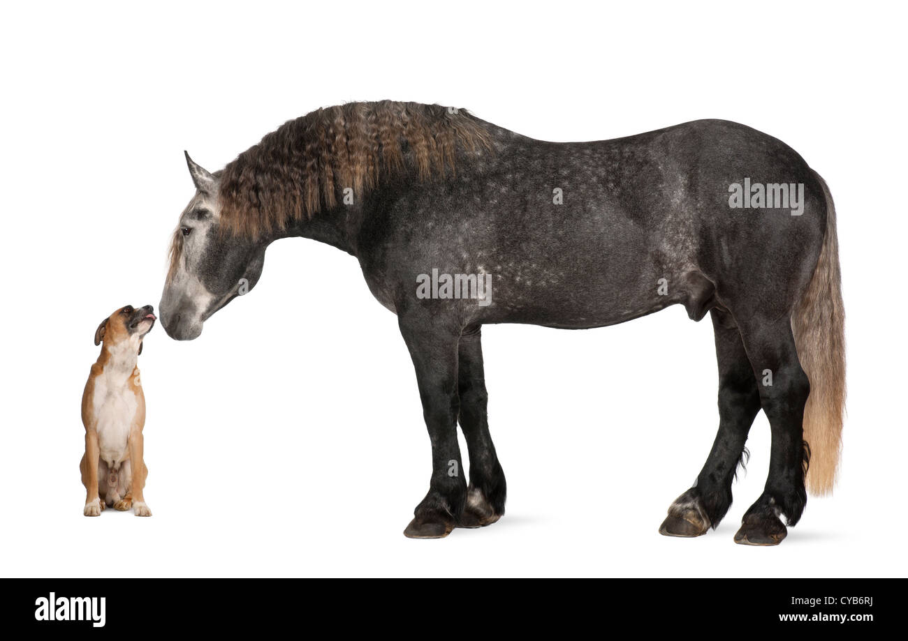Percheron, 5 years old, a breed of draft horse, standing and looking at dog against white background - Stock Image