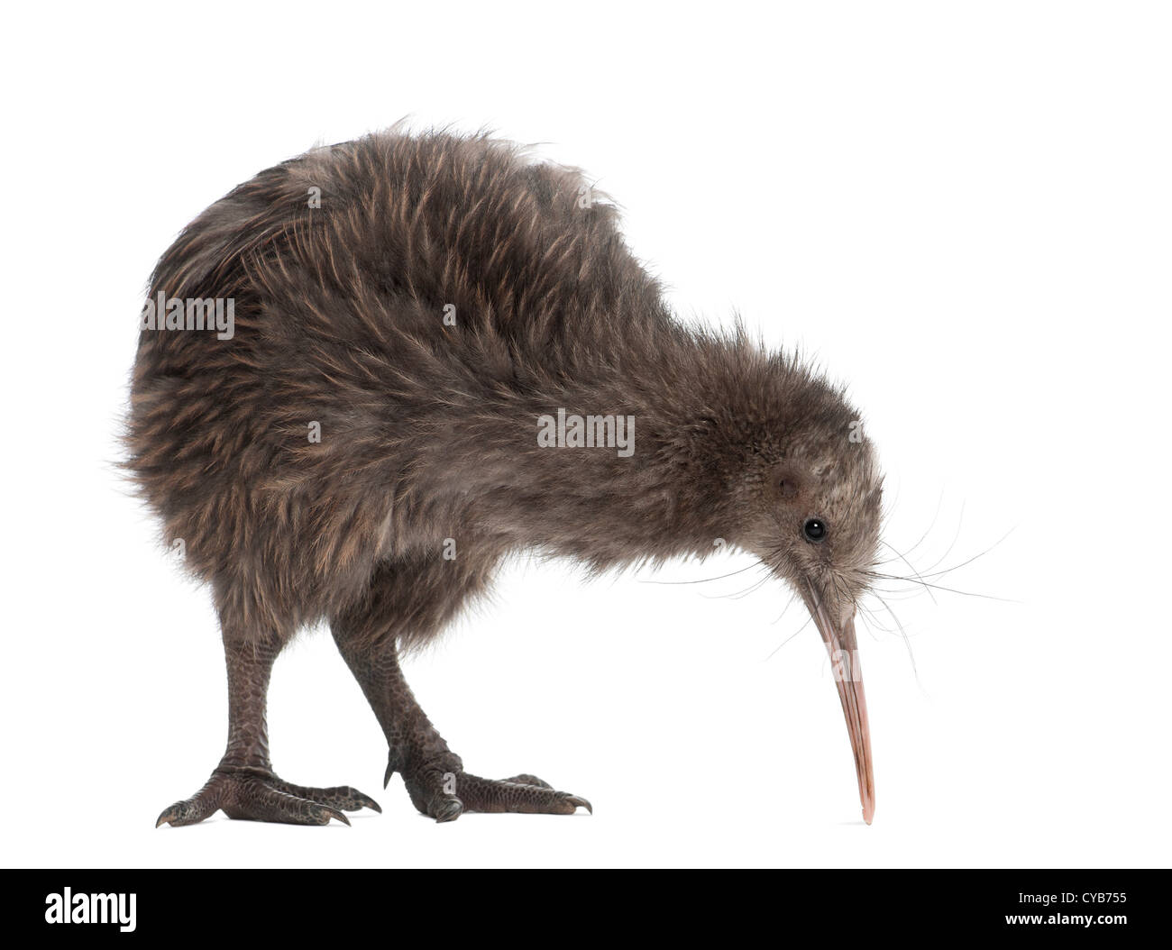 North Island Brown Kiwi, Apteryx mantelli, 5 months old, against white background - Stock Image