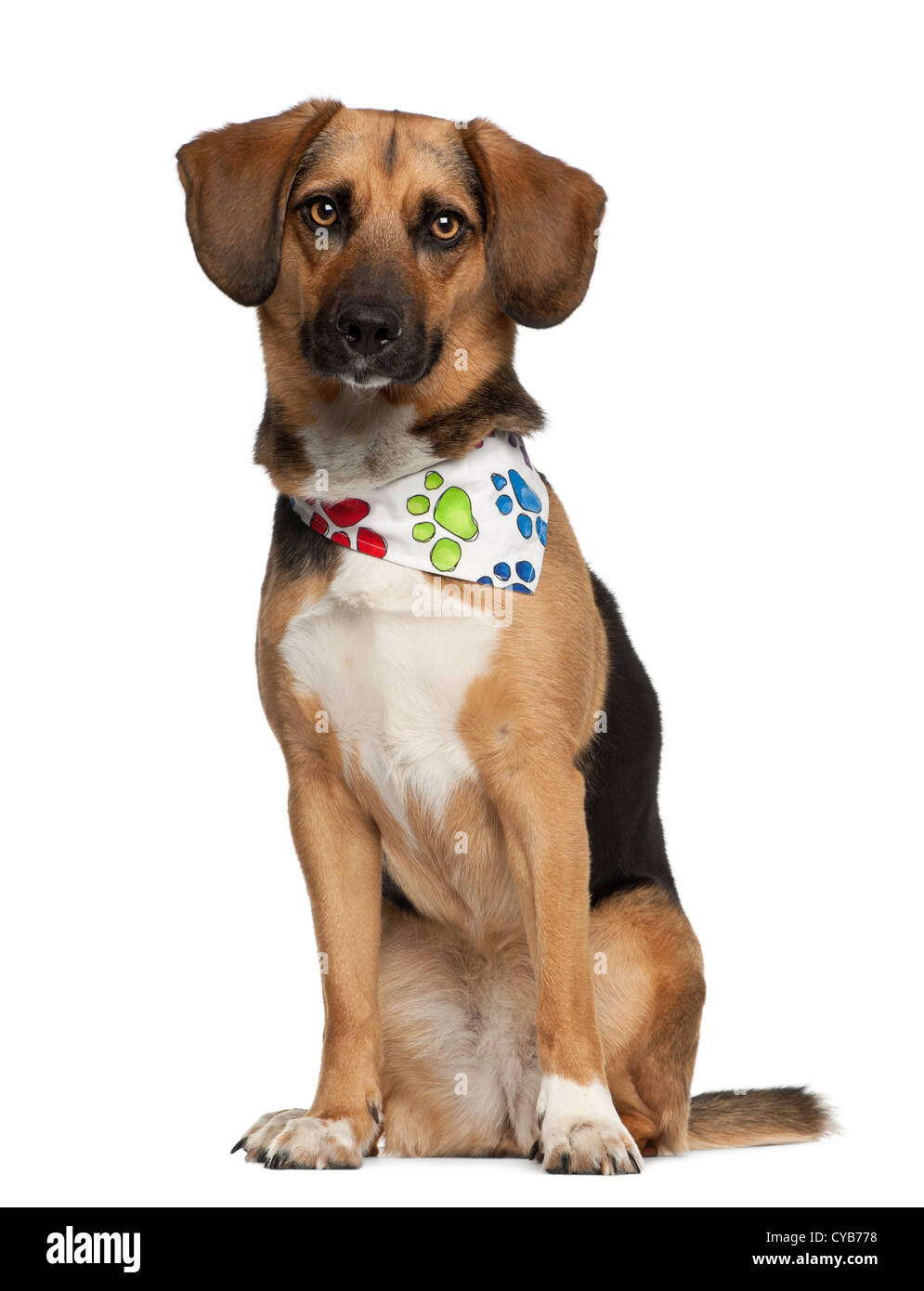 Dog, cross bred with beagle, 2 years old, wearing neckerchief sitting against white background - Stock Image