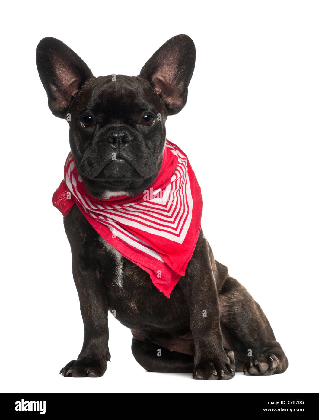 French Bulldog puppy, 6 months old, wearing neckerchief sitting against white background - Stock Image