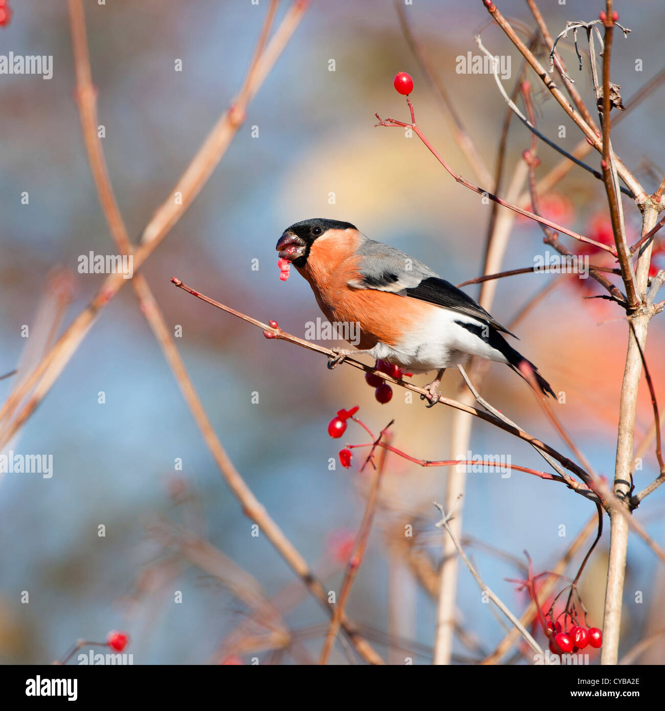 Bullfinch (Pyrrhula pyrrhula) separating (and eating) the seed from the fleshy berry of guilder rose and common - Stock Image
