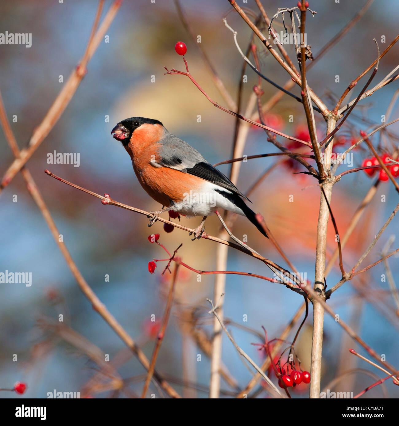 Bullfinch (Pyrrhula pyrrhula) separating and eating (mandibulating) the seed from the fleshy berry of guilder rose - Stock Image