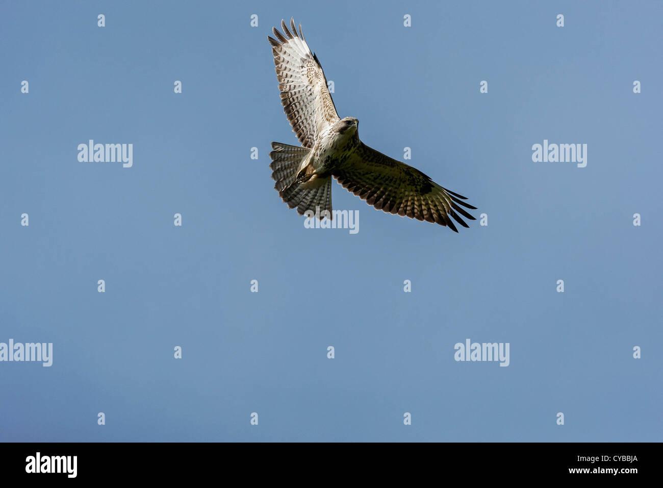 Buzzard Soars - Stock Image