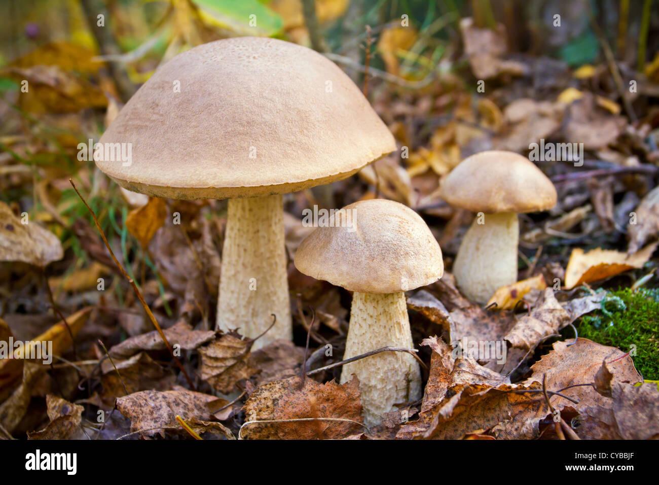 Autumn forest eatable mushrooms close-up - Stock Image