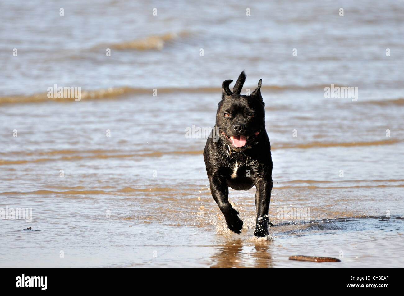 Black Staffordshire Bull Terrier with white blaze on chest running towards camera - Stock Image