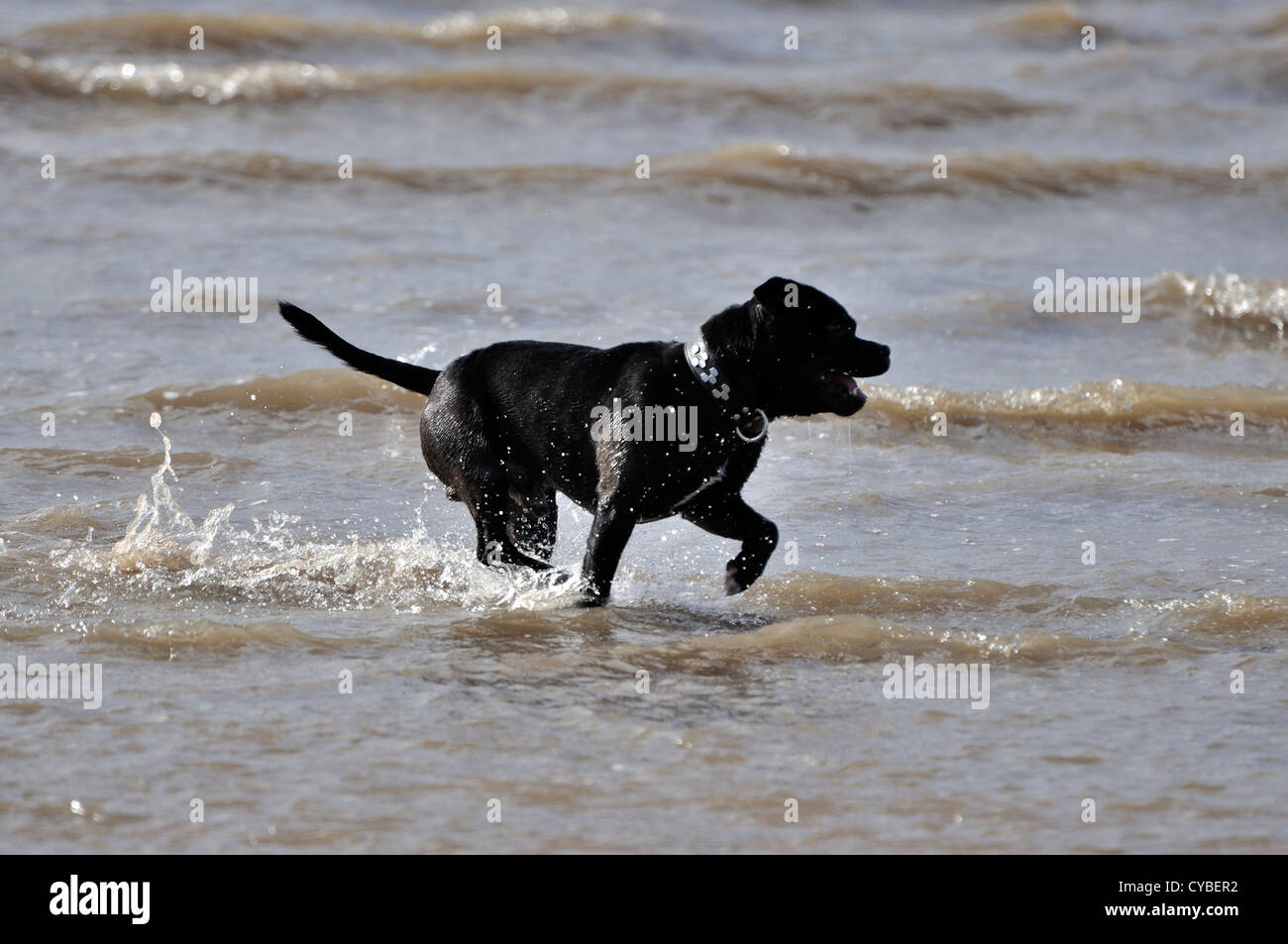 Black Staffordshire Bull Terrier running in sea at waters edge - Stock Image