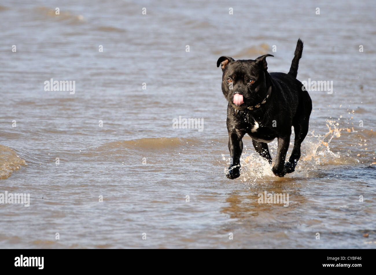 Black Staffordshire Bull Terrier running at waters edge towards camera with pink tongue curled back to nose - Stock Image
