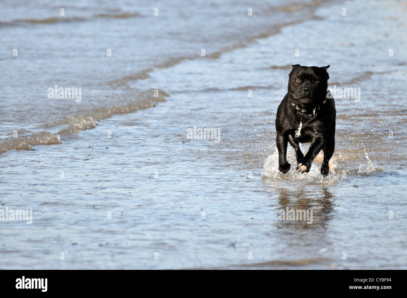 Black Staffordshire Bull Terrier running at camera in soaked condition - Stock Image