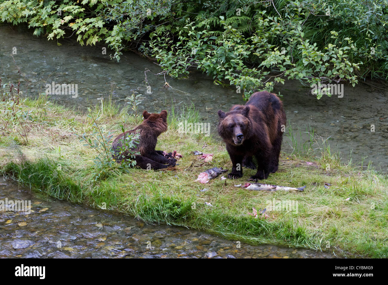 Grizzly Bear Catching Salmon Hyder Stock Photos Grizzly Bear